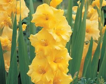 SALE! 12 Gladiolus Nova Lux Bulbs, Beautiful Yellow Flowers!
