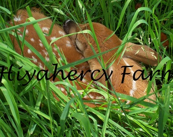 Baby Fawn Photograph Nature Photography Wildlife Photography Gift Matted Photograph Wall Art Home Decor Children Decor Fine Art