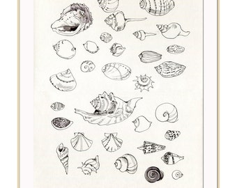 Seashells ink drawing - PRINT line drawing of conch shells - pen drawing at the Museum in Natural History collection by Catalina.