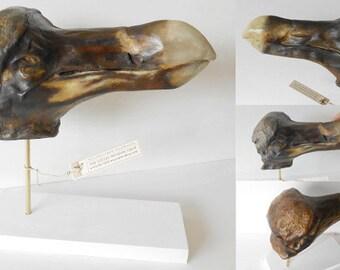 Dodo head cast