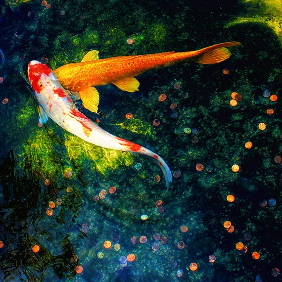 "Metal Art Print ""Lucky in Love"", Koi Photography Printed on Aluminum with Flush Frame, Various Sizes, Special Order"