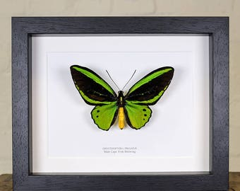 Male Cape York Birdwing in Box Frame (Ornithoptera priamus)