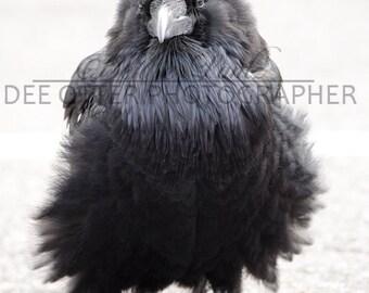 Black Sands Raven Fluff Photo Print: Common Raven