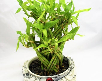 Dragon Bamboo Plant In Frog Chinese Vase