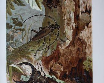 old print stag beetle 1895