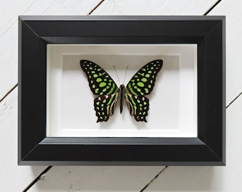 Real framed butterfly: Graphium agamemnon // shadowbox // mounted // green butterfly