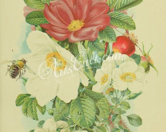 flowers-32292 - Rose rugosa alba, Rose rugosa rubra, Rose wichuriana vintage picture JPG image rosa printable digital download bouquet plant