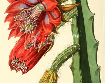 flowers-22562 - Small-flowered Shew-Cereus, Disocactus speciosus flowering blooming cacti illustration picture image public domain book page