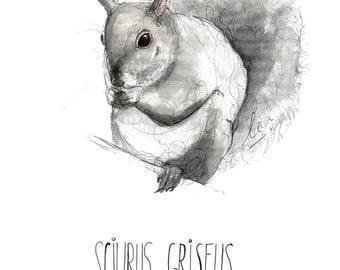 Squirrel Sciurus Griseus