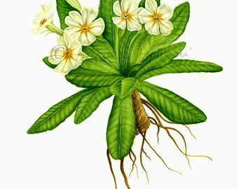 PRINTS from original watercolor-Primula vulgaris