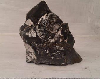Ammonites in Matrix