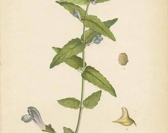 COMMON SKULLCAP - 1905 Botanical Book Plate 102  Bilder ur Nordens Flora