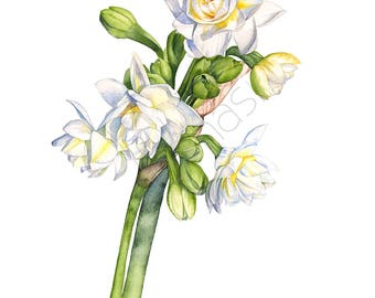 Jonquils print of watercolor painting, 5 by 7 size, J21017, Jonquils watercolour painting print, floral watercolor print, botanical print