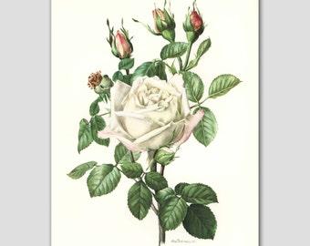 "White Flower Print, Vintage ""Snow Queen"" Rose Artwork, 1960s Botanical Book Plate No. 6"
