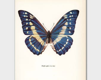 "Blue Morpho Butterfly Art Print (Natural History Book Art, Vintage Blue Home Decor) --- ""Morpho Butterfly"" No. 38-1"