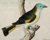 1780 Antique Buffon print of EXOTIC BIRDS. Tropical birds. Colorful birds. Ornithology print. 237 years old copper engraving
