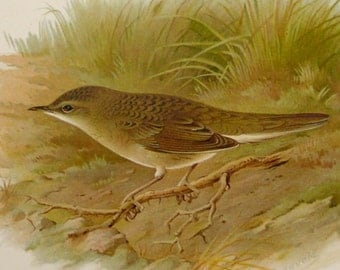 1890 Antique lithograph of a GRASS WARBLER BIRD with Nest. Aquatic Birds. Songbirds. Ornithology. 127 years old beautiful print