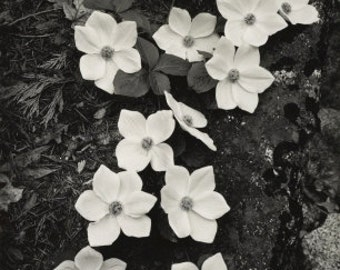 Ansel Adams, Dogwood Blossoms, flowers, Yosemite National Park, original, Mountains, black & white, photo fine art photograph print canvas