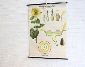Mid Century German Botanical Educational Chart Sunflower