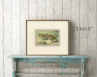 """Partridge Art Print C.1907 Antique Lithograph by Mahler - Wall Art, Home Decor, Gift Idea - Birds Ornithology Natural History Matted 11x14"""""""