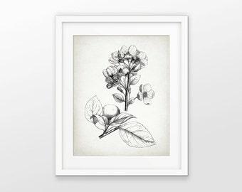 Antique Botanical Print - Apple Illustration - Apple Tree - Botanical Print - Apple Blossom Drawing - Single Print #2101 - INSTANT DOWNLOAD
