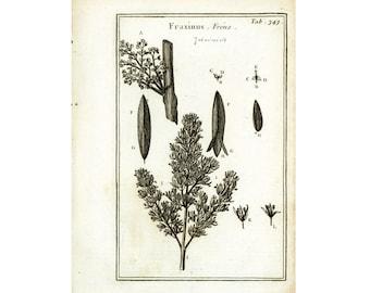 1797 Antique Ash Print Fraxinus leaf flower Botanical Natural History Wall Home Decor