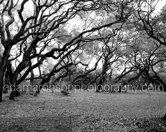 Photograph of coastal oak trees in Rockport, Tx