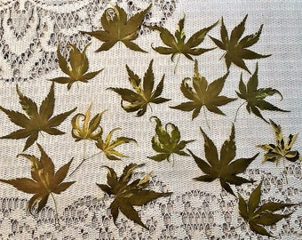 Dried pressed maple leaves, Real dried leaves, Dried variegated leaves, Orido Nishiki dried maple leaves 25 pcs.