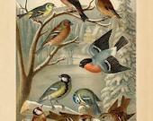 Vintage European Songbird  Grosbreak, Linnet, Siskin, Finch, Tit, Goldfinch, Sparrow - Vintage Bird Illustration - Vintage Bird Poster