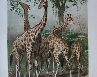 nice old print giraffe 1895