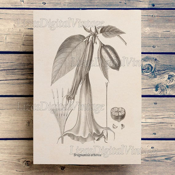 Datura print, Instant download vintage floral print, Brugmansia, Angels Trumpet, Printable botanical art, Antique flower print, JPG, PNG