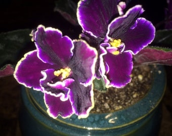 African Violet Edge of Darkness Free Shipping