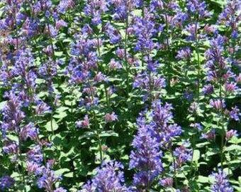 Blue Lemon Catnip Herb Seeds/Nepeta Cataria/Perennial   40+