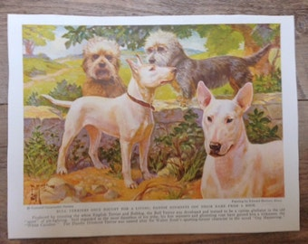 Vintage Bull Terrier and Dandie Dinmont Dog Print 1936