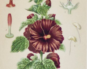 Plant study, antique print | Malvaceae, 1893, Chromolithography