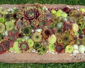 Sempervivum Variety Pack of 3 - Assortment of 3 Unique Rosette Succulent Plants - Hens and Chicks - Not succulent cuttings but rooted plant!