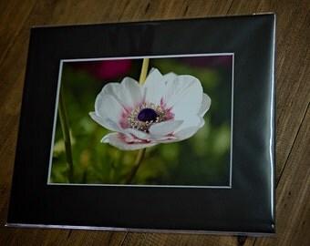 5x7 matted print, poppy, white poppy, white flower, fine art print