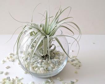 Seated Glass Globe with Light Aqua Pebbles & Large Air Plant Terrarium Kit