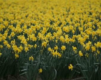 Spring Daffodiles