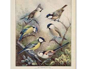 A3 Bird Print Wall Art - 6 Varieties of Tits (Print #4)