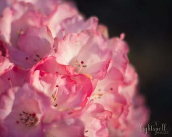 Floral Wall Art, Botanical Print, Flower Photography, Pink, Still Life, Fine Art Photograph, Nature Photo, Wall Decor, Rhododendron