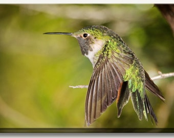 Hummingbird art - hummingbird print - green humming bird sitting on a branch showing off its colors.  Canvas gallery wrap nature photography