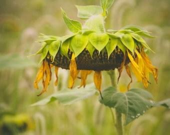 Sunflower Field, Augusta, New Jersey
