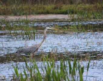 Blue Heron on the hunt (8 x 10 photo)