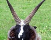 Jacob Sheep Tup coaster w...