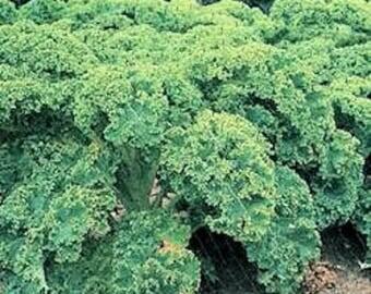 2500 VATES Blue CURLED KALE / Dwarf Blue Curled Scotch Kale Brassica Oleracea Vegetable Seeds