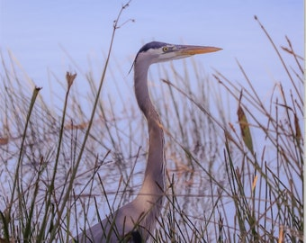 Blue Heron at the waters edge
