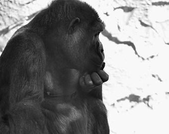 Ponderosa - Gorilla Portrait
