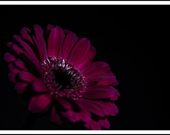 Spectacular, deep red flower, isolated against a black background