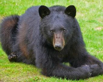 Black Bear, Brownsville, Vermont